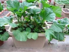 冬寒菜盆栽种植方法.jpg