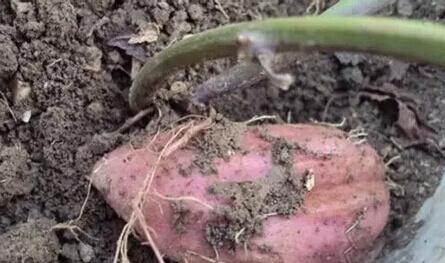 红薯阳台盆栽种植方法1.jpg