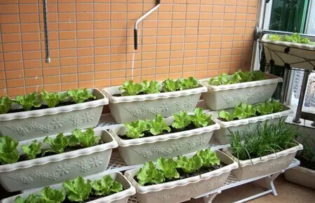 阳台种菜2.jpg