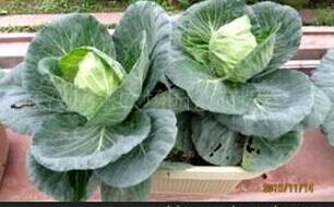 包菜阳台盆栽种植方法1.jpg