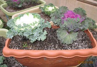 包菜阳台盆栽种植方法2.jpg