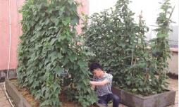 阳台蔬菜搭架2.jpg
