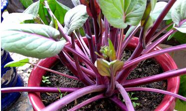 红菜苔阳台盆栽种植方法.jpg