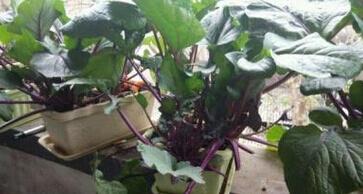 红菜苔阳台盆栽种植方法3.jpg