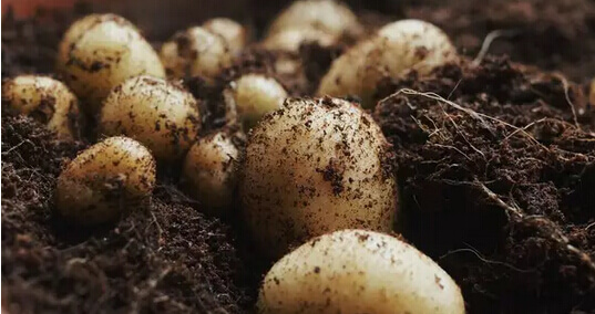 土豆(马铃薯)阳台盆栽种植方法.jpg