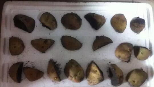 土豆(马铃薯)阳台盆栽种植方法1.jpg