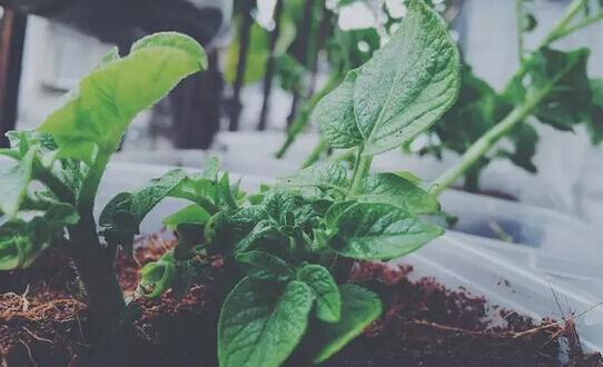 土豆(马铃薯)阳台盆栽种植方法5.jpg