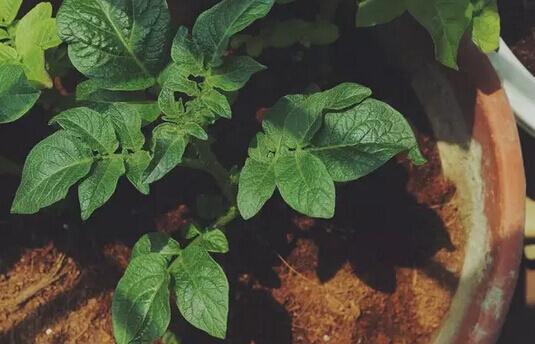 土豆(马铃薯)阳台盆栽种植方法6.jpg