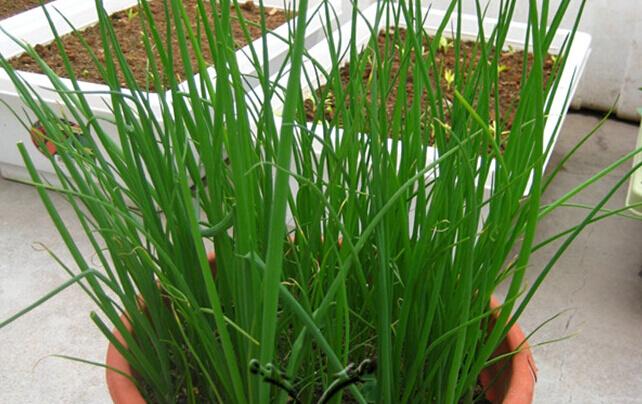 香葱阳台盆栽种植方法3.jpg