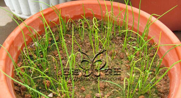 香葱阳台盆栽种植方法2.jpg