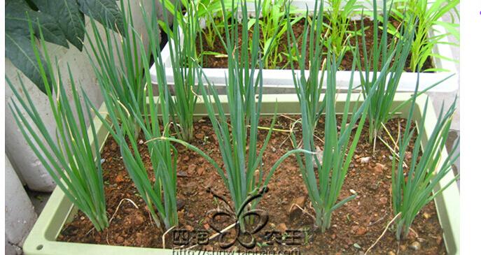 香葱阳台盆栽种植方法4.jpg