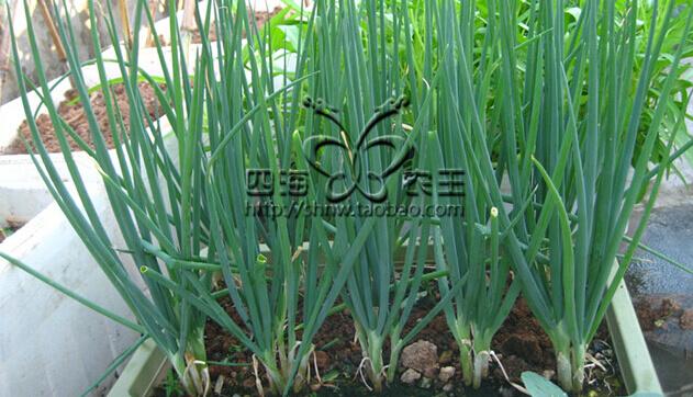香葱阳台盆栽种植方法5.jpg