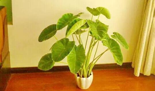 芋头阳台盆栽种植方法3.jpg