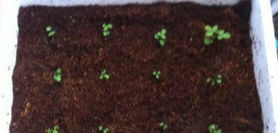 马齿苋阳台盆栽种植方法01.jpg