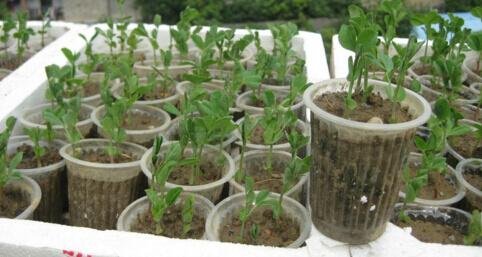 阳台种菜使用一次性杯子育苗方法.jpg