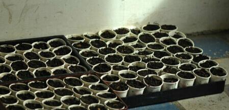 阳台种菜使用一次性杯子育苗方法1.jpg