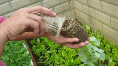 阳台种菜使用一次性杯子育苗方法2.jpg