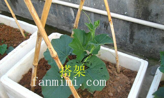 蒲瓜阳台盆栽种植方法2.jpg