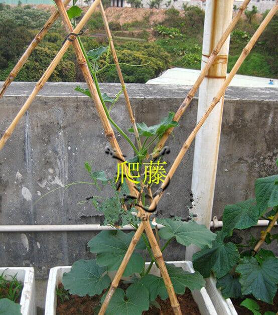 蒲瓜阳台盆栽种植方法3.jpg