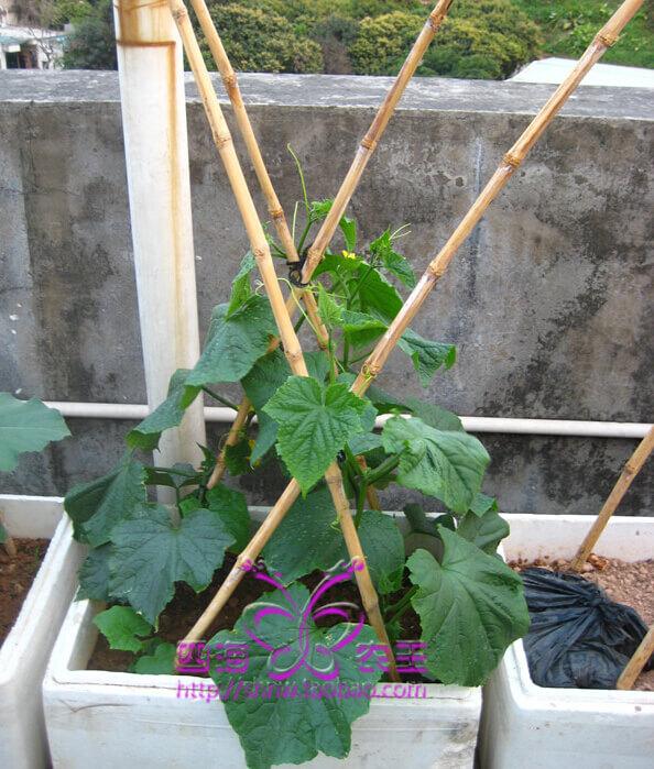 黄瓜阳台盆栽种植方法4.jpg