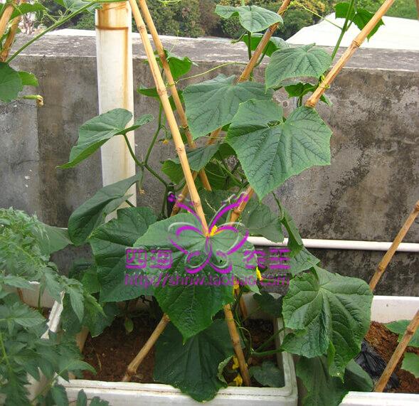 黄瓜阳台盆栽种植方法5.jpg