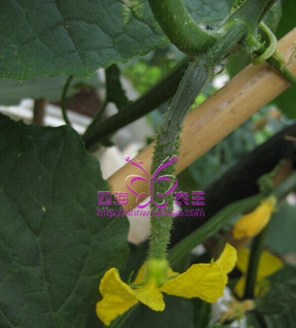 黄瓜阳台盆栽种植方法6.jpg