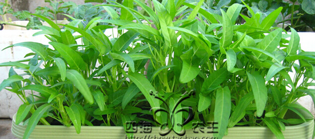 空心菜阳台盆栽种植方法5.jpg