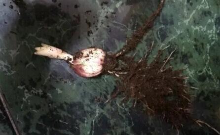 食用百合阳台盆栽种植方法8.jpg