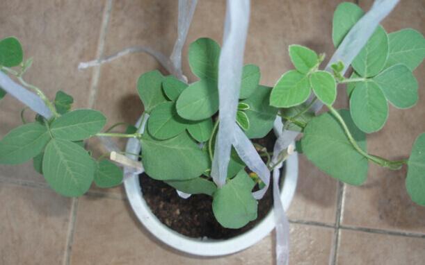 毛豆阳台盆栽种植方法3.jpg