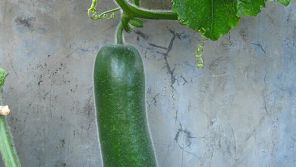 冬瓜阳台盆栽种植方法7冬瓜长大了.jpg