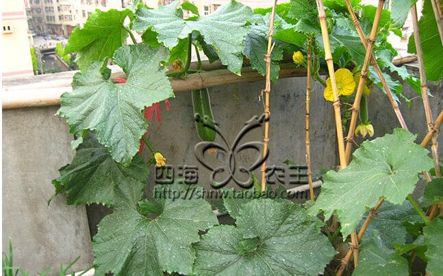 冬瓜阳台盆栽种植方法4冬瓜开花了.jpg