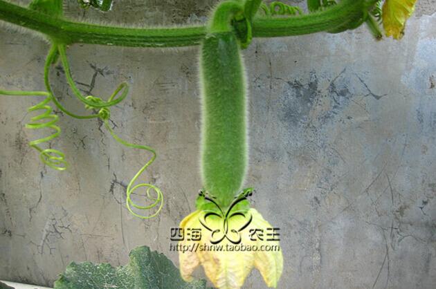 冬瓜阳台盆栽种植方法6冬瓜果实长大了.jpg