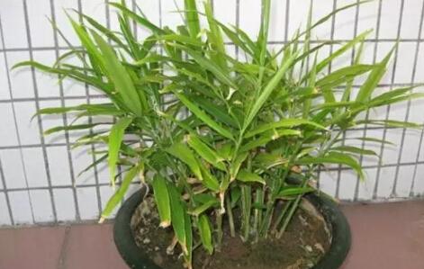生姜阳台盆栽种植方法5.jpg