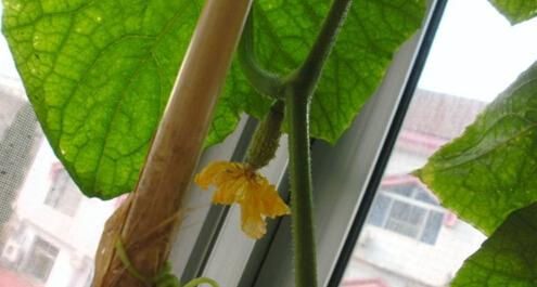 阳台种的黄瓜长不大原因2.jpg