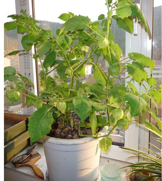 姑娘果(菇娘果)阳台盆栽种植方法4.jpg