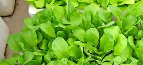 小白菜阳台盆栽种植.png