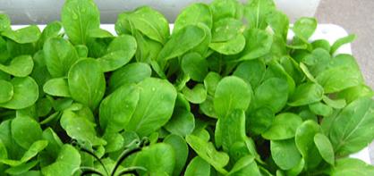 小白菜阳台盆栽种植方法.png