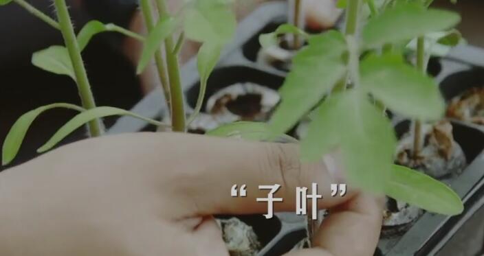 西红柿苗子叶和真叶2.jpg