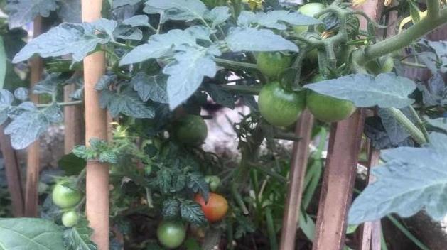 阳台盆栽西红柿(番茄)需要进行人工授粉吗?盆栽蔬菜怎么进行人工授粉1.jpg