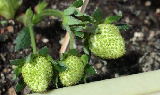 阳台种菜花盆里有会飞的小虫子怎么办?花盆有小黑飞怎么治理,自制阿维菌素、自制生菜水培液的方法1.png