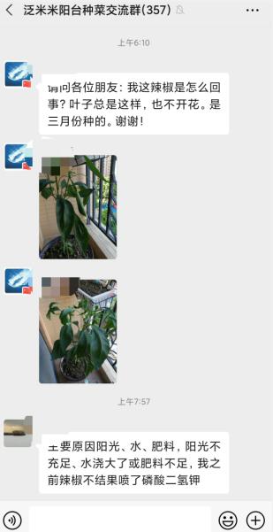 辣椒不开花,叶子总是奄奄的3.png