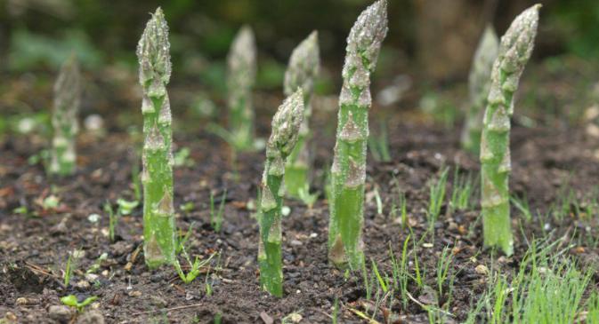阳台盆栽芦笋诀窍,当年种当年收,种一次吃几年芦笋3.png