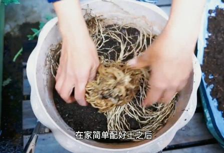阳台盆栽芦笋诀窍,当年种当年收,种一次吃几年芦笋5.png