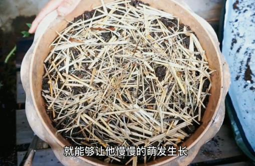 阳台盆栽芦笋诀窍,当年种当年收,种一次吃几年芦笋6.png